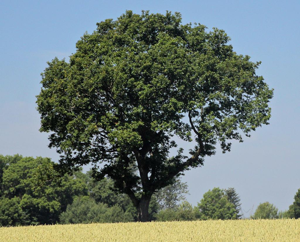 Træet på marken